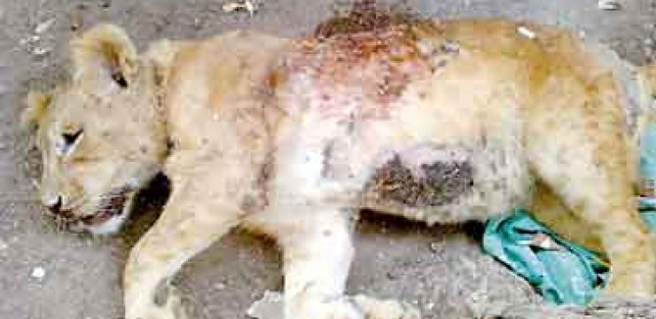 lion-cub-shot-dead-egypt.jpg