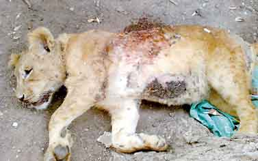 Lion Cub Shot Dead In Egypt