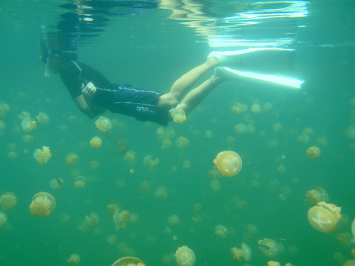 jellyfish underwater with diver