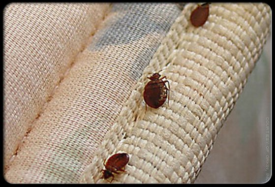 Natural Remedies For Bedbugs Doesnt Look Like It