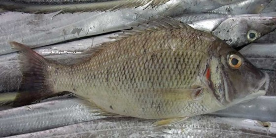 7 gulf fish that are totally ok to eat green prophet for Names of fish to eat
