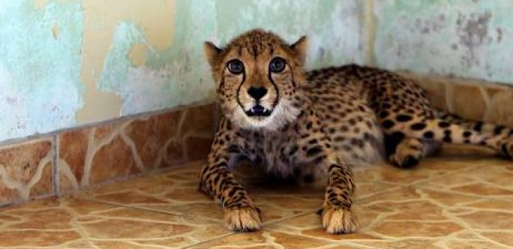 Cheetah-found-in-ABu-Dhabi.jpg