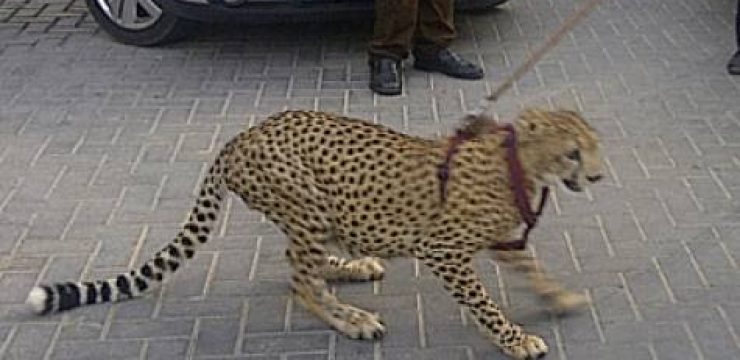 gulf-news-cheetah.jpg