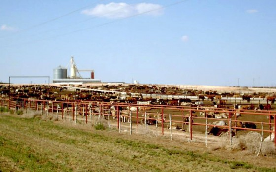 feed lot cattle texas