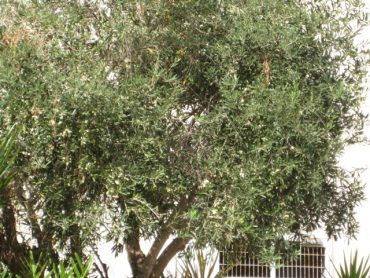 Preserving Olives the Green Prophet Way