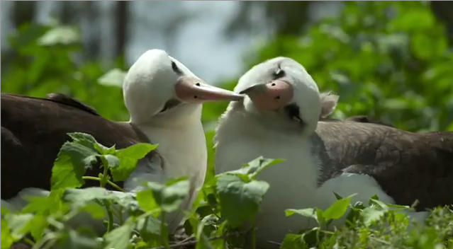 Video of the Midway Atoll: Plastic Travels. Plastic Kills.