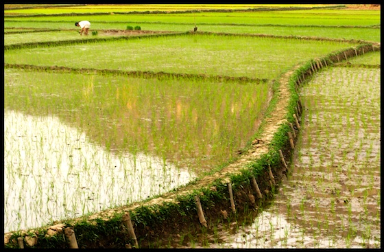 agriculture, food and health, Middle East, water shortages, rice