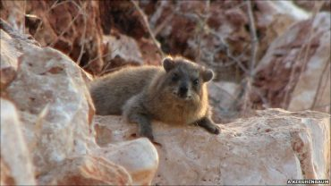 Biblical Hyrax Is Now A Pest