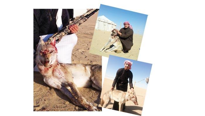 Kuwaiti Kills Wolf and Then Shows Off