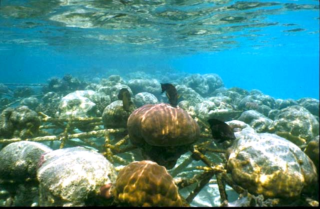 Electrified Cages Revive Dead Coral Reefs