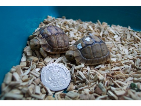 baby tortoise, CITES, IUNC, Wildlife conservation, animal conservation, illegal wildlife trade, Egyptian tortoises, Egypt, Libya