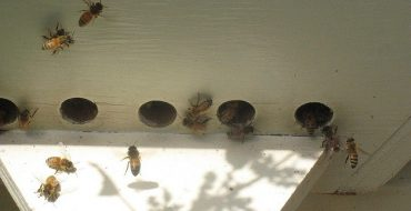Cellular Phones, WiFi and Bee Collapse? Israeli Bee Boss Not Buying It