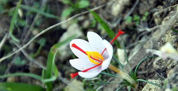 Saffron Spice Fights Liver Cancer