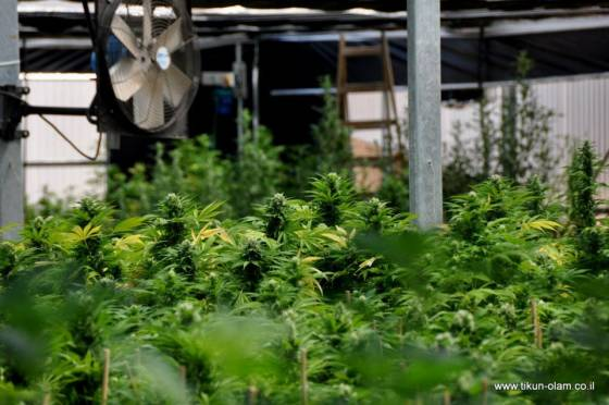 Israel's Hidden Marijuana Farm Tikkun Olam (the interview)