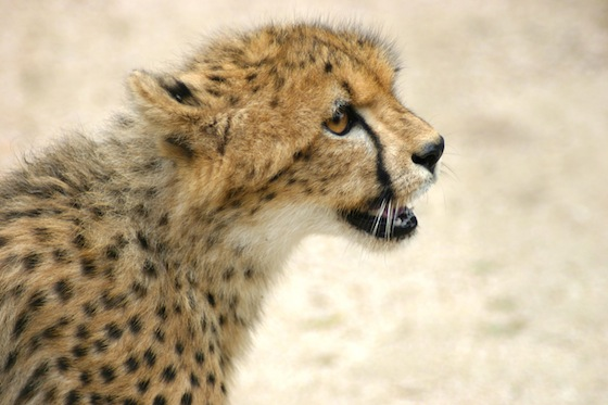 wildlife conservation, cheetahs, South Africa, endangered species, wildlife, animal conservation