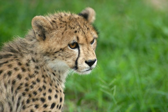 The Cheetah: Nature's 21st Century Feminist | Green Prophet
