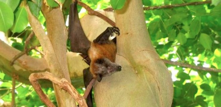 fruit-bat-fig-tree.jpg