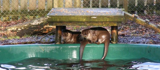 lutra otter water pool