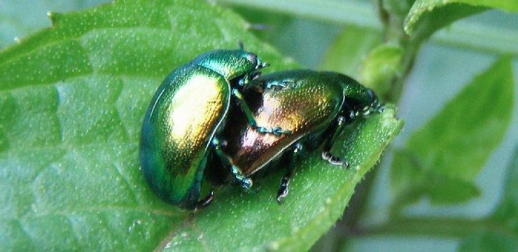 mating-green-beetles.jpg