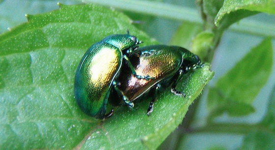 mating green beetles