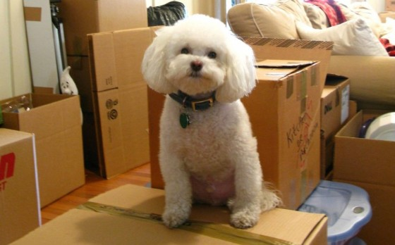 moving day dog poodle on boxes