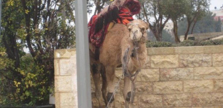Camel-on-Mt-of-Olivesl-3.3.12-0101.jpg