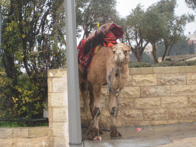 Jerusalem Camel Abuse Caught on Camera