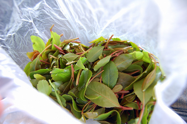 Leafy Narcotic Khat Trade May be Funding Terror
