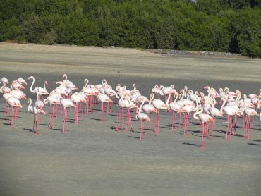 Dubai's Camels to Chomp Down Runaway Mangrove Forests?