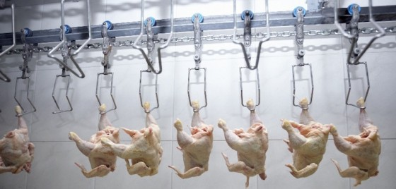 factory chickens arsenic