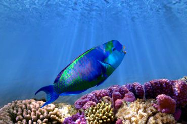 Saudi's Parrot Fish Festival Undermines Red Sea Conservation