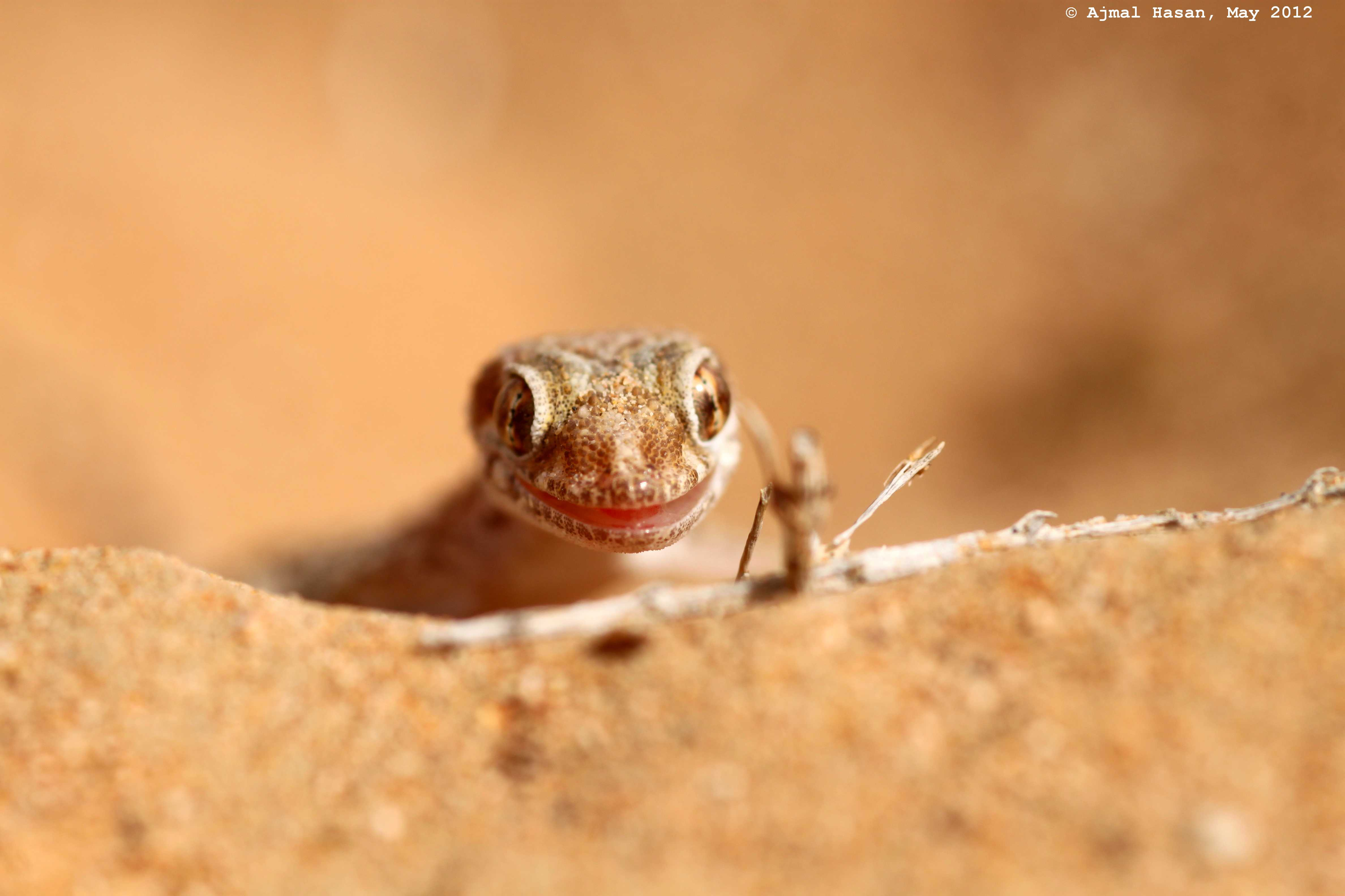 Baluch ground gecko striking a pose