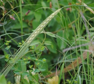 Wild Grains And Our Daily Bread Threatened by Global Warming