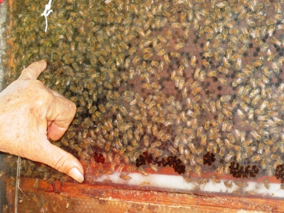 honeybee colony collapse