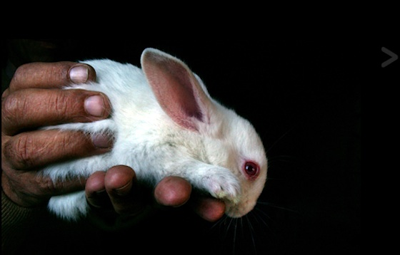 Breeding Bunnies for Food and Fur in Egypt
