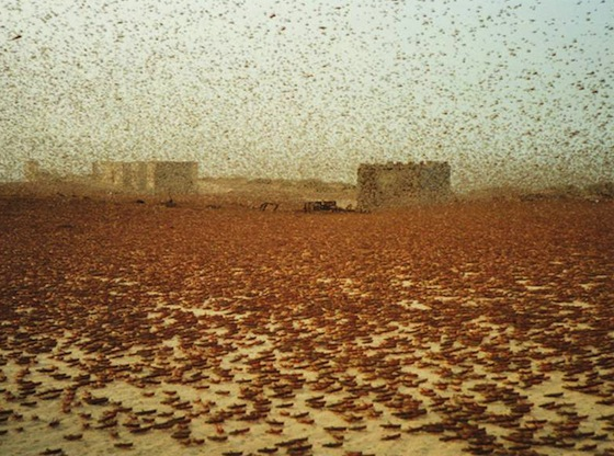 Desert Locusts Swarm West Africa Following Gaddafi's Fall