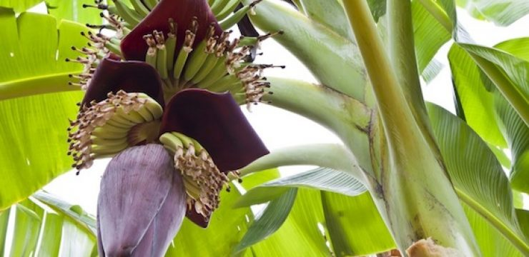 banana-pods-blossoms-tree.jpg