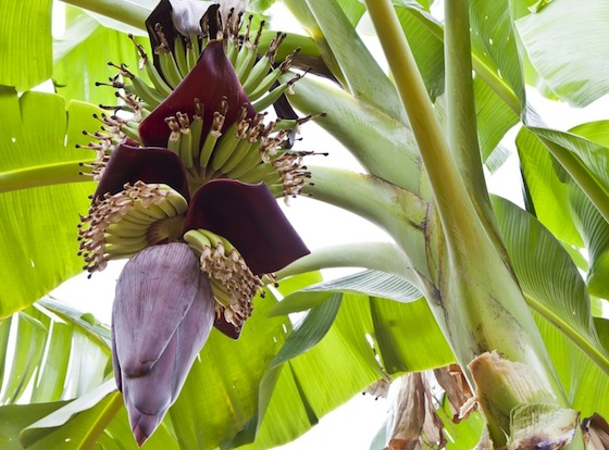 banana tree blossoms middle east
