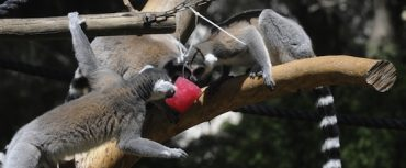 Safari Animals Get Blood, Fish and Fruit Popsicles to Cool Off