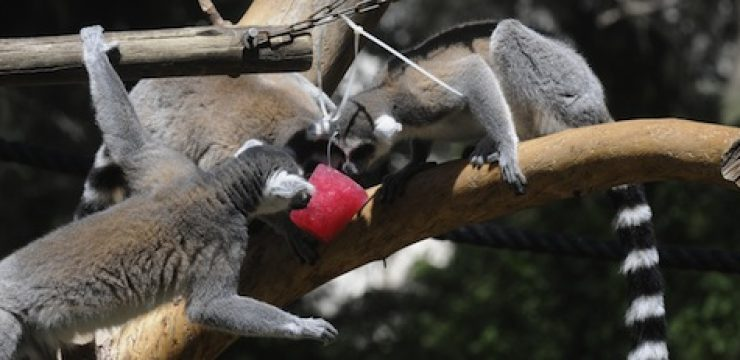 lemurs-popsicles.jpeg