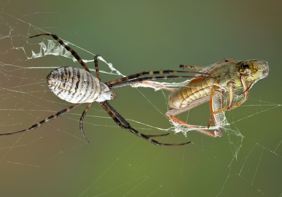 spiders grasshoppers stress in web
