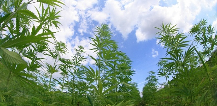 Cannabis-fields-Lebanon.jpg