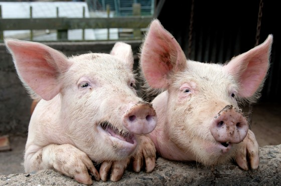 pigs cute picture piglets