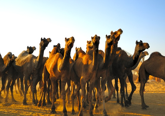 Australia Kills Nearly 400 Camels From the Sky