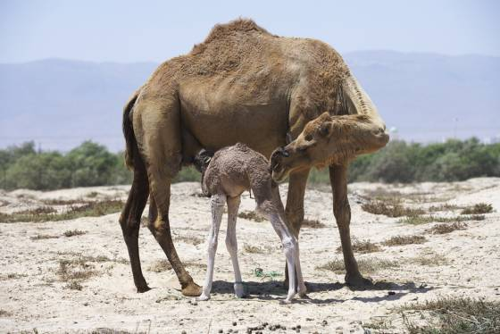 image-mother-baby-camel