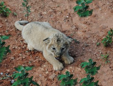 Extinct Barbary Lions Used in Gladiator Rings Revived at Moroccan Zoo