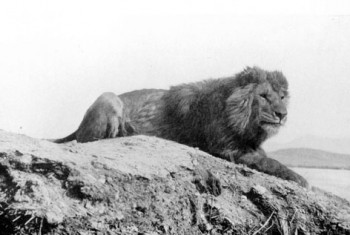 Barbary lion, Atlas Lion, Morocco, extinct species, gladiator lions, wildlife conservation