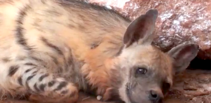 Striped-Hyena-Rescue-Lebanon.png