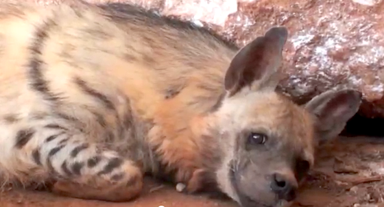 Lebanon, Striped Hyena, animal rights, wildlife conservation, animal rescue, animal cruelty