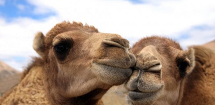 camel-couple-camel-milk.jpeg
